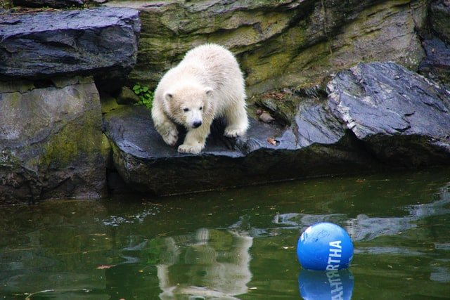 berlin polar bear at tierpark berlin
